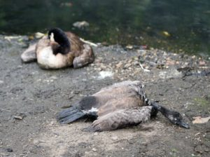 "Fears for wildlife at ""Polluted Smethwick Park Pond"""